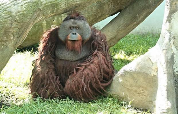 orangutan_zoo_de_chapultepec