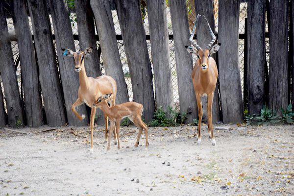 antilope-ok