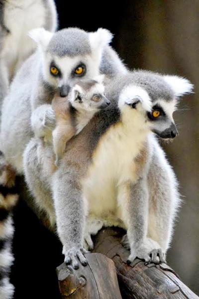 lemur-ok
