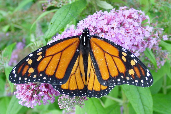 mariposa monarca 1