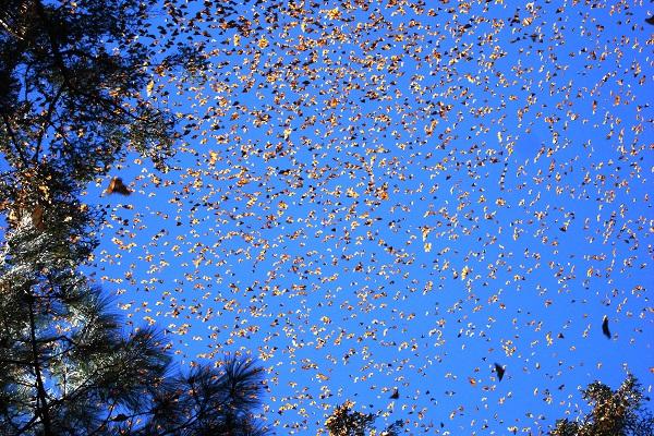 mariposa monarca 4