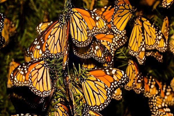 mariposas-monarcas ok
