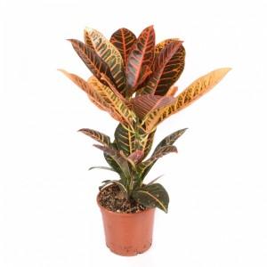 version planta