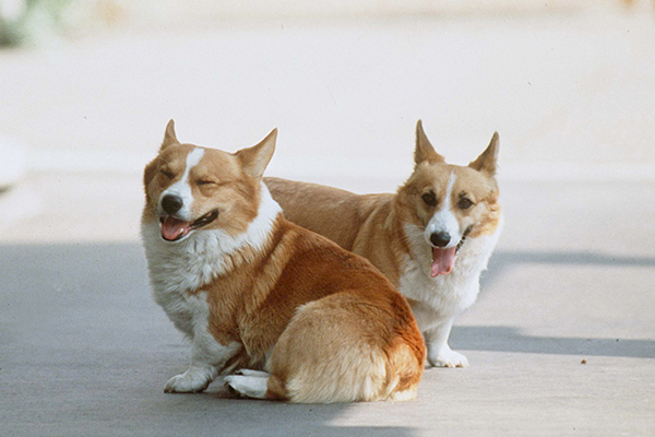 perros corgi